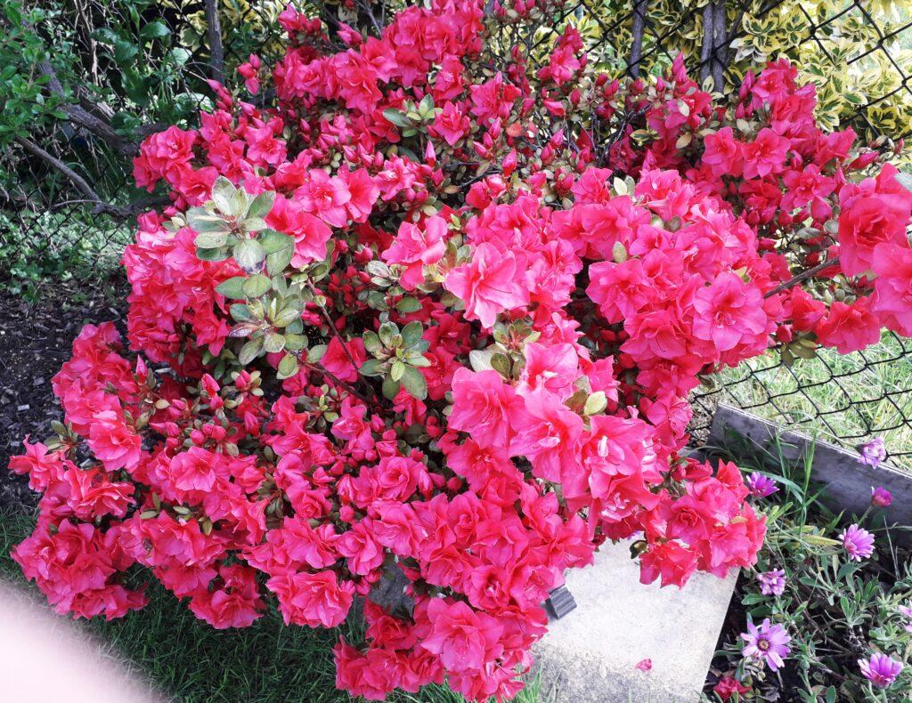 pink flowers covering an azalea bush