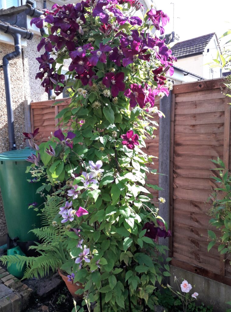 purple flower clematis climbing a fence